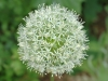 allium-mount-everest-438x300