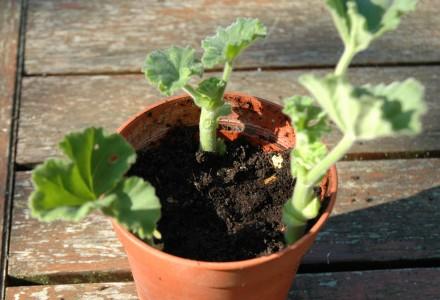 pelargonium cutting 6