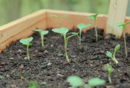 Cabbage Seedlings