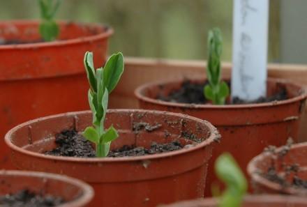 Pea Kelvedon Wonder Seedlings