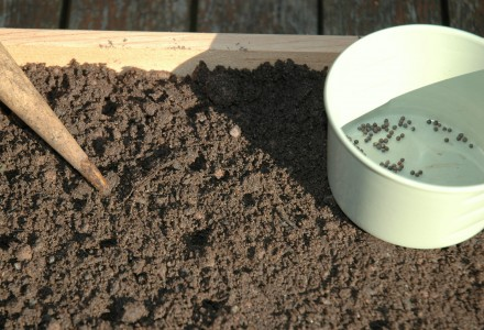 sowing summer cabbage