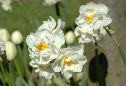 Double Narcissi Bridal Crown