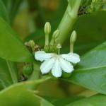 Naupaka (Scaevola) Maldives Flower