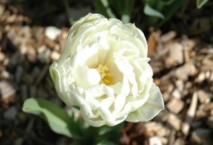 Tulip Mount Tacoma Double Late Paeony Flowered