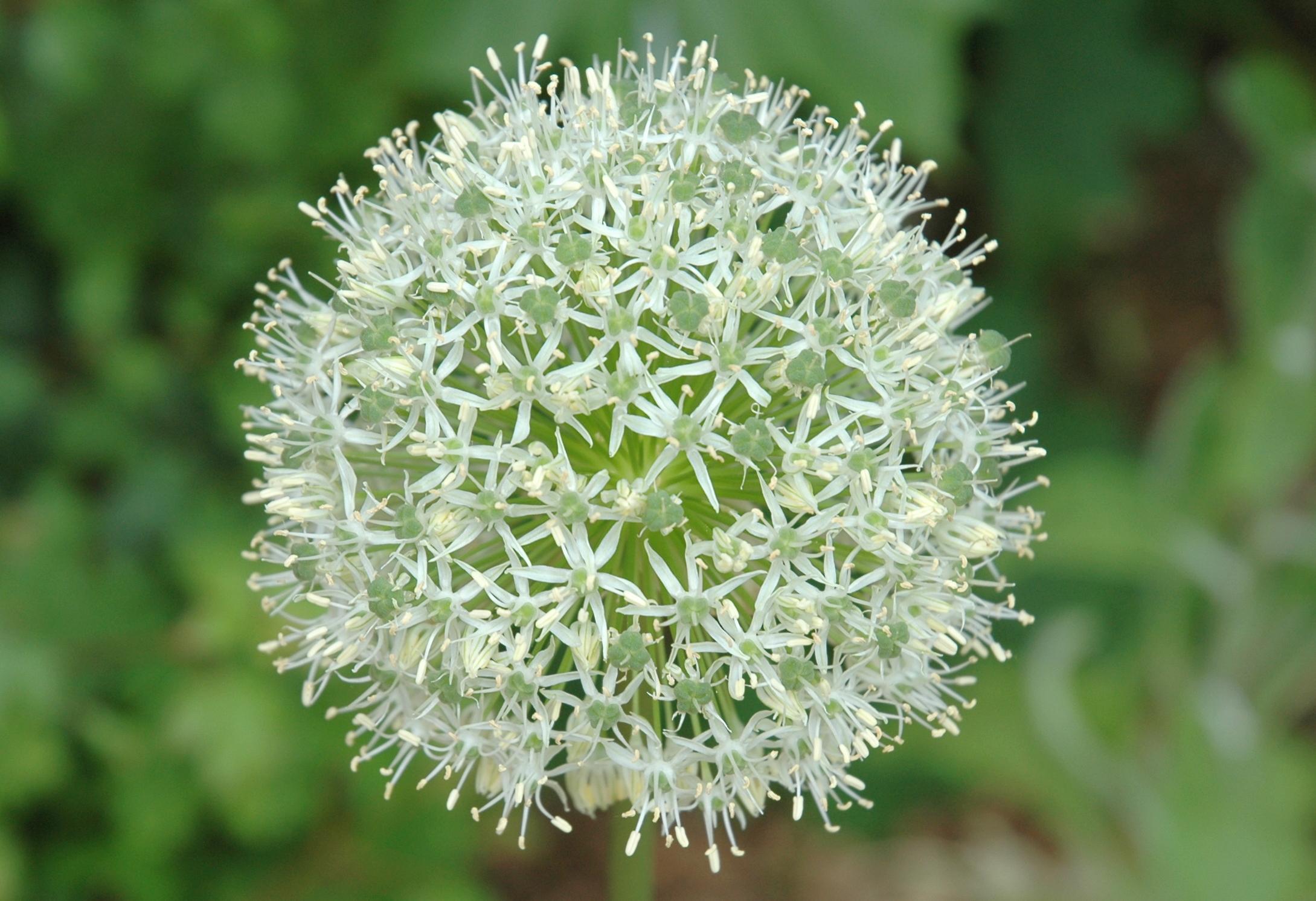 Allium Mount Everest images