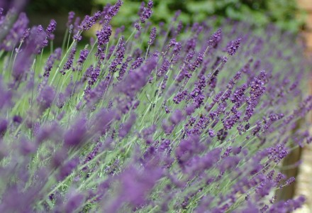 lavender hedge photo