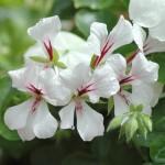raiwet bedding geranium 2 pic