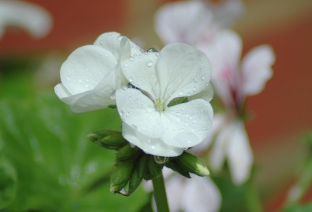 raindrops on geranium pic