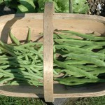 Runner and Climbing Bean Harvest