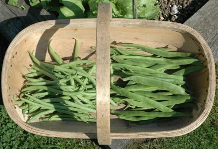 Runner and Climbing Bean Harvest