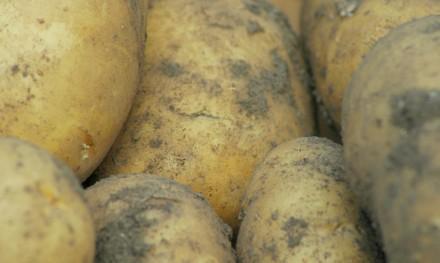 charlotte potatoes crop