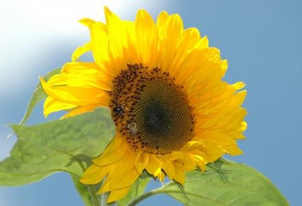 sunflower head