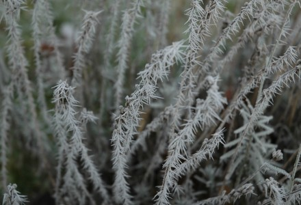 frozen lavender