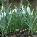 February Snowdrops