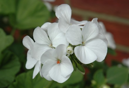 flowering vista white pelargoniumgeranium