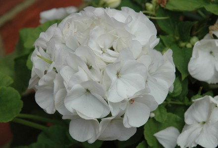 vista white pelargonium