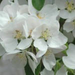 discovery apple blossom
