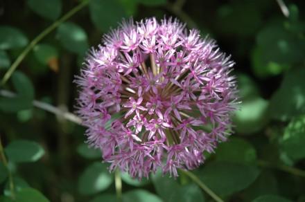 Allium Aflatunense 2