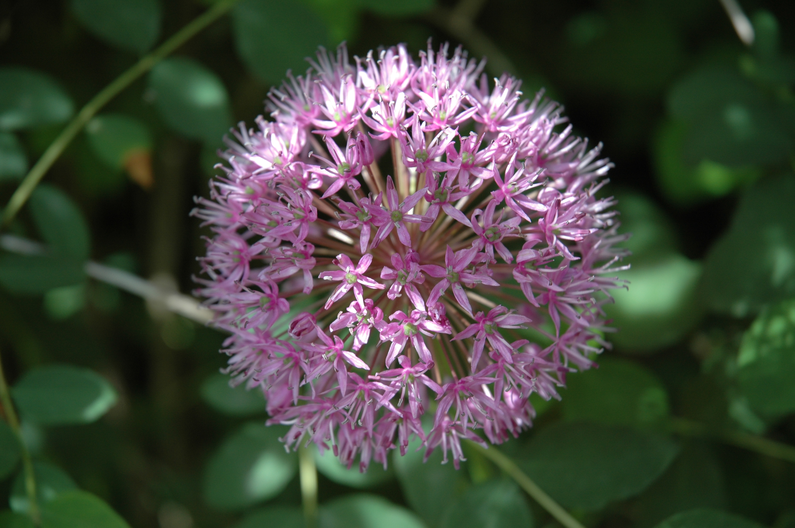 Allium Aflatunense at Garden Posts