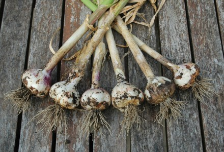 iberian wight garlic
