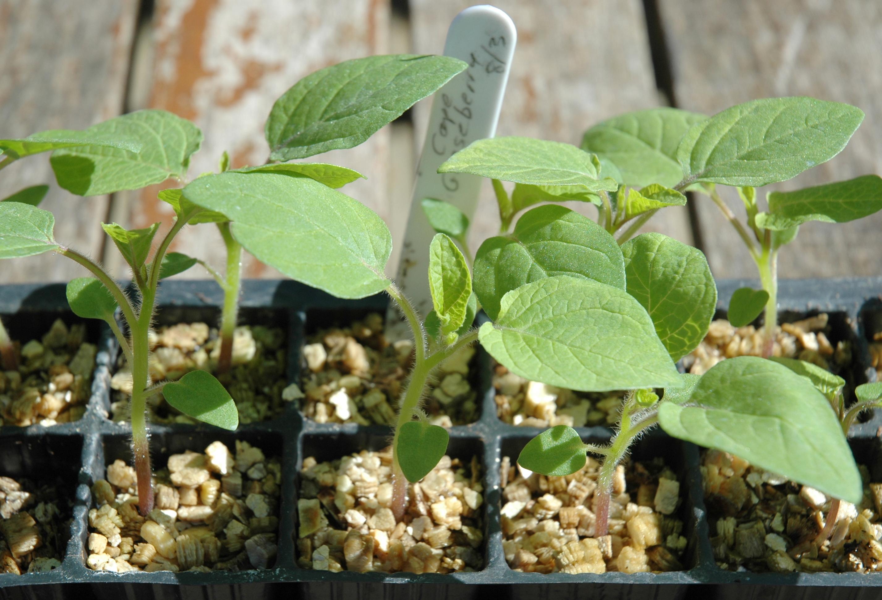 Cape Gooseberry Flower Cape Gooseberry Seedlings