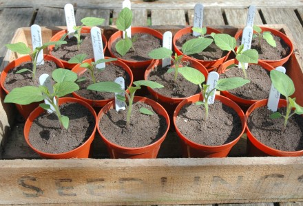 potted on cape gooseberry