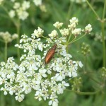 brown beetle