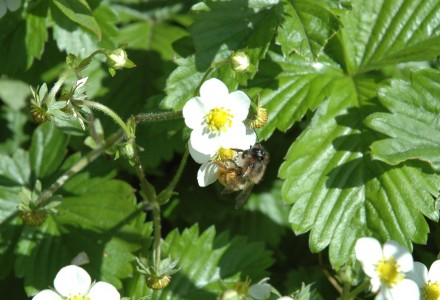 bee on wild strawberries