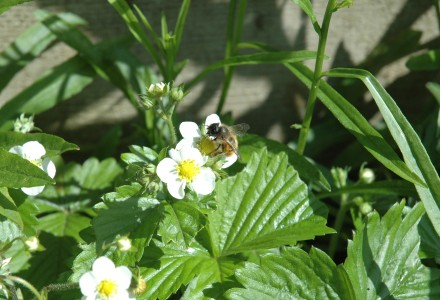 bees on wild strawberries