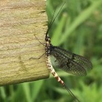mayfly on bridge