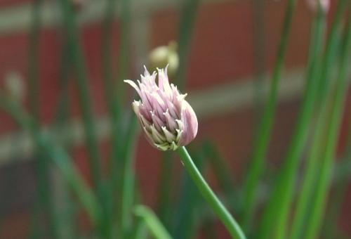chive flower bud