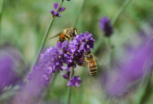 lavender hedge bees photo