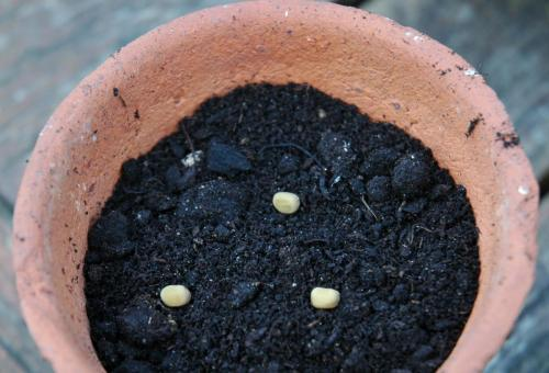 Sweet Pea Seeds in Terracotta Pot