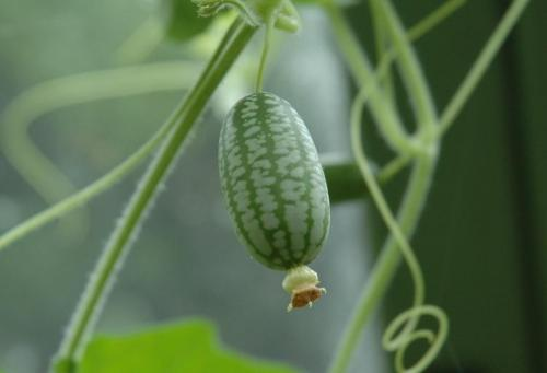 swelling cucamelon 2