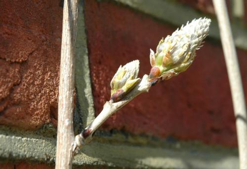 wisteria bud